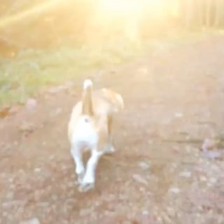 Happy easter everyone ️ starting the day with a sunny morning walk  #pollybeagle #pollythebeagle #easter #springbreak #morning #walk #tagsforlikes #hashtag #instadog #instagram #polly #tagstagramers #happyeastereveryone #like  #life #lighting #sun
