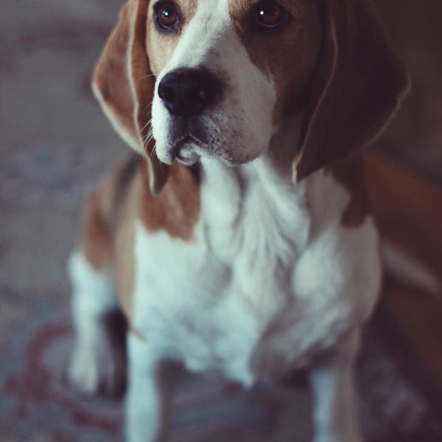 #pollythebeagle #instagram #tagsforlikes #pof #beagle #beaglesdaily #polly #dogstagram #nice #dogs #lighting #filter #vsco #acg #like #follow #pollybeagle #2016 #fun #followpolly #life #nohashtagneeded #captioned #edit #polly #the #beagle #likeformore #good #night #morning #afternoonwalk